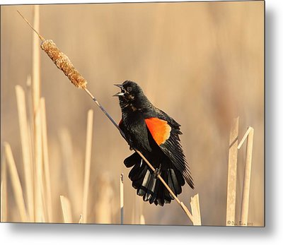 Red Winged Blackbird On Cattail Metal Print by Daniel Behm