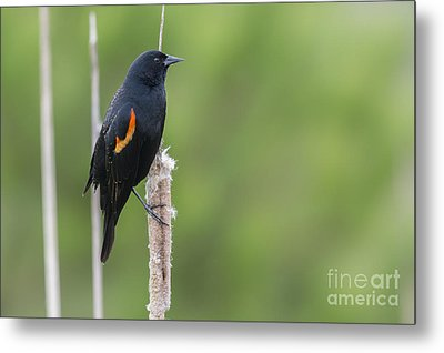 Red-winged Blackbird On Cattail Metal Print by John Shaw