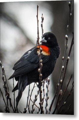 Metal Print featuring the photograph Red Winged Blackbird In Pussy Willows by Patti Deters