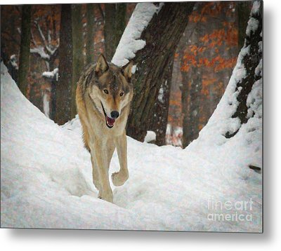 Red Wolf On A Winter Hunt Metal Print