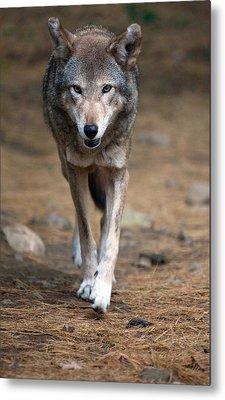 Red Wolf Strut Metal Print by Karol Livote