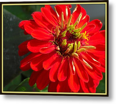 Metal Print featuring the photograph Red Zinnia With Yellow by Heidi Manly