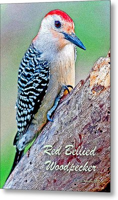 Metal Print featuring the photograph Redbellied Woodpecker Poster Image by A Gurmankin