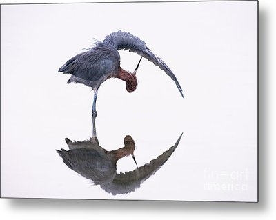 Reddish Egret Metal Print by Marie Read