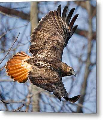Redtail Hawk Square Metal Print by Bill Wakeley