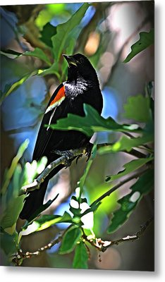Redwing Blackbird On Alert Metal Print