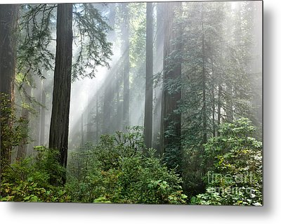 Redwood Forest With Sunbeams Metal Print by Inga Spence