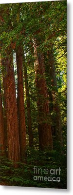 Redwood Wall Mural Panel Three Metal Print by Artist and Photographer Laura Wrede