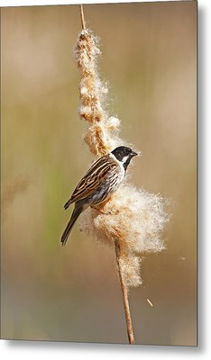 Metal Print featuring the photograph Reed Bunting On Reed Mace. by Paul Scoullar