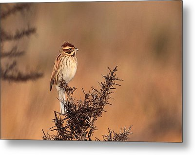 Reed Bunting Metal Print by Peter Skelton