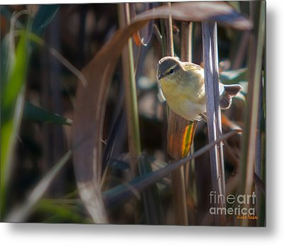 Reed Warbler Metal Print by Jivko Nakev