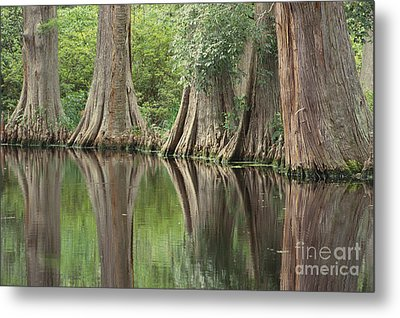 Reflections Of Cypress Trees Metal Print by Art Wolfe