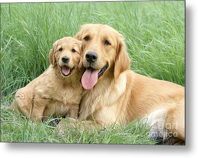 Relaxing Retrievers Metal Print by Greg Cuddiford