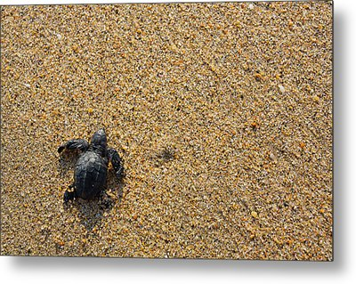 Releasing Green Sea Turtle, Hotelito Metal Print by Douglas Peebles