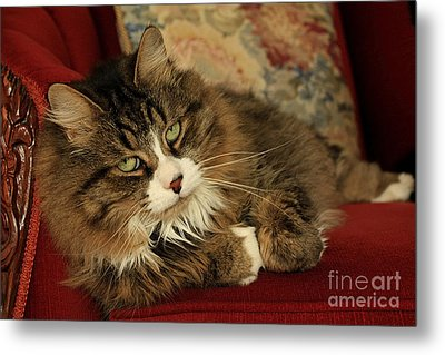 Rescue Cat Living In The Lap Of Luxury Metal Print by Inspired Nature Photography Fine Art Photography