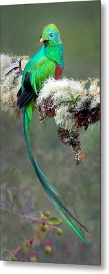 Resplendent Quetzal Pharomachrus Metal Print