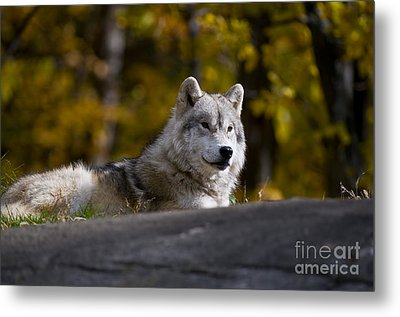 Metal Print featuring the photograph Resting Arctic Wolf On Rocks by Wolves Only