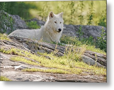 Metal Print featuring the photograph Resting Arctic Wolf by Wolves Only