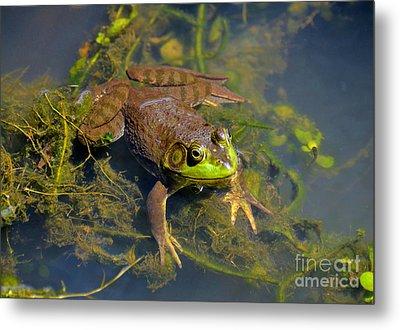 Resting Bronze Frog Metal Print by Kathy Baccari