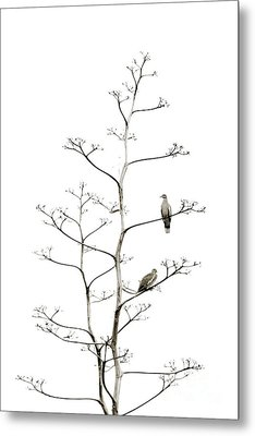 Resting Doves Metal Print by Darla Wood