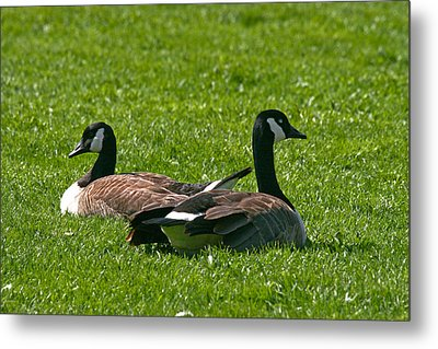 Resting Geese Metal Print by John Holloway
