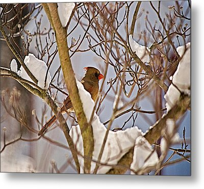 Resting In Snow Wil 324 Metal Print