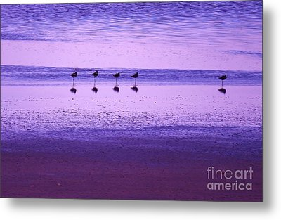 Avocets Resting In The Sunset Metal Print