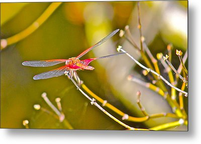 Resting Red Dragonfly Metal Print by Cyril Maza