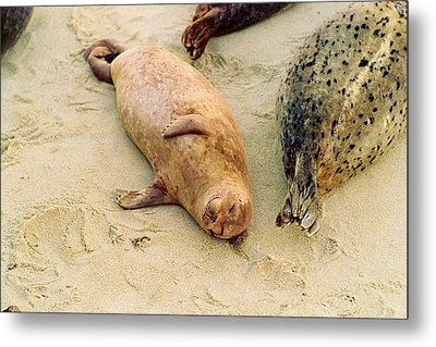 Metal Print featuring the photograph Resting Seal by Kathy Bassett