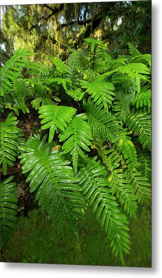 Resurrection Fern, Pleopeltis Metal Print by Maresa Pryor