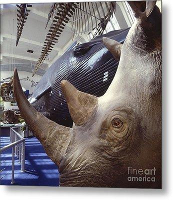 Rhinoceros Specimen, Museum Gallery Metal Print by Natural History Museum, London