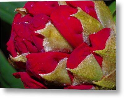 Rhododendron Bud Metal Print by Harold Greer