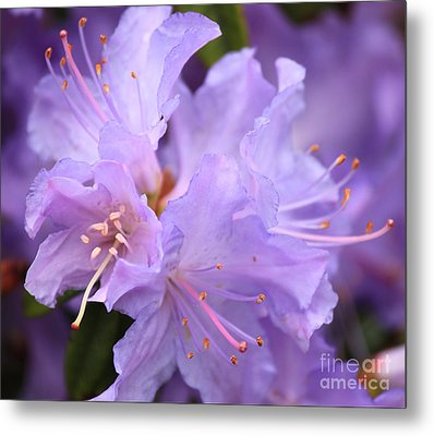 Rhododendron Flower Metal Print