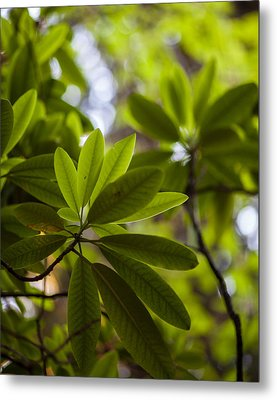 Rhododendron Leaves Abstract Metal Print