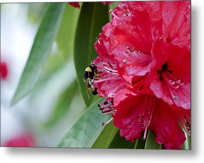 Rhododendron With Bumblebee Metal Print by Frank Tschakert