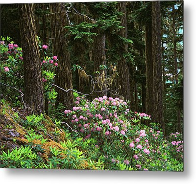 Rhododendrons And Trees, Washington Metal Print by Randy Green