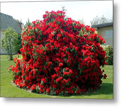 Rhododendrun  Metal Print by George Cousins