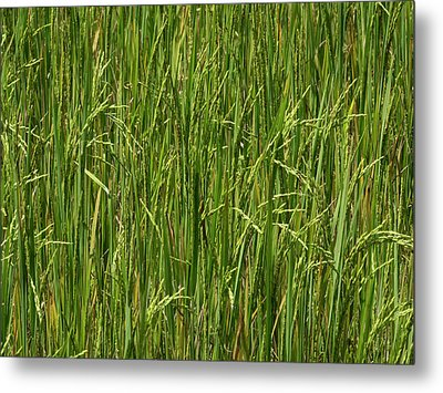Rice Field At Lunuganga, Bentota Metal Print by Panoramic Images