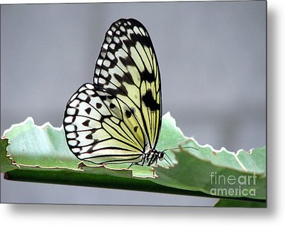Rice Paper Butterfly On A Leaf Metal Print by Inspired Nature Photography Fine Art Photography
