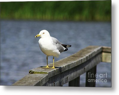 Metal Print featuring the photograph Ring-billed Gull by Alyce Taylor