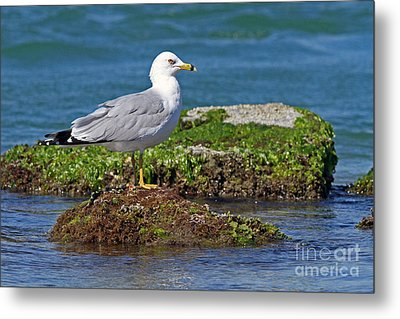 Ring-billed Gull Metal Print by Jennifer Zelik