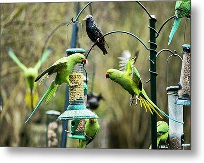 Ring-necked Parakeets Metal Print