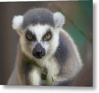 Ring Tailed Lemur Metal Print