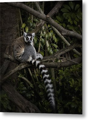 Metal Print featuring the photograph Ring Tailed Lemur by Kim Andelkovic