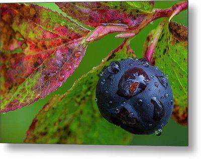 Ripe Huckleberries In A Light Rain Metal Print
