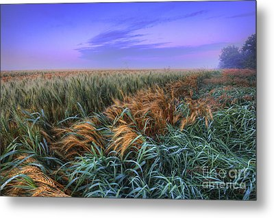 Ripening Barley At Dawn Metal Print
