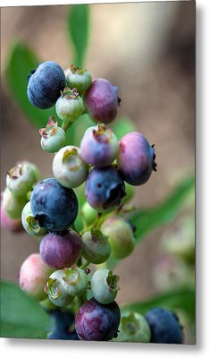 Ripening Blueberries Metal Print
