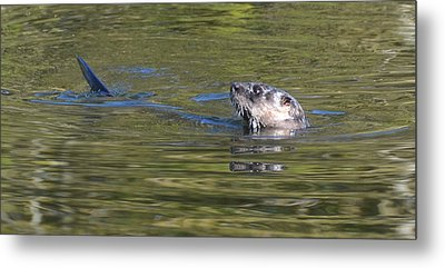 River Otter Metal Print by Julie Cameron