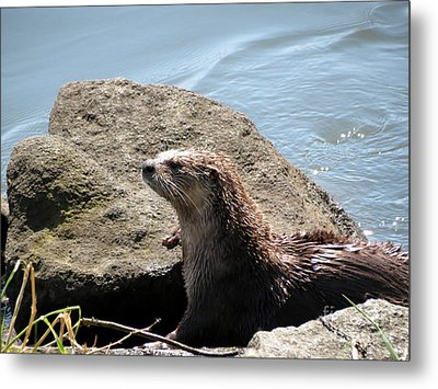 River Otter Sunning By The Lake Metal Print