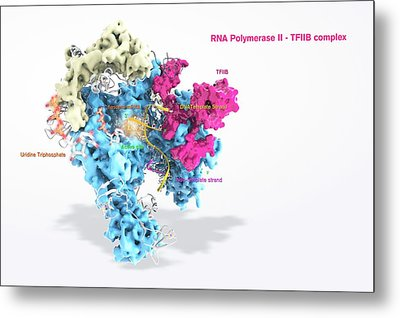Rna Polymerase II And Tfiib Metal Print by Ramon Andrade 3dciencia